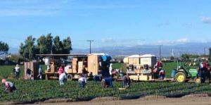 Farm labor still being done by workers . . .
